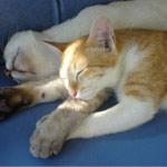 kucing-tidur